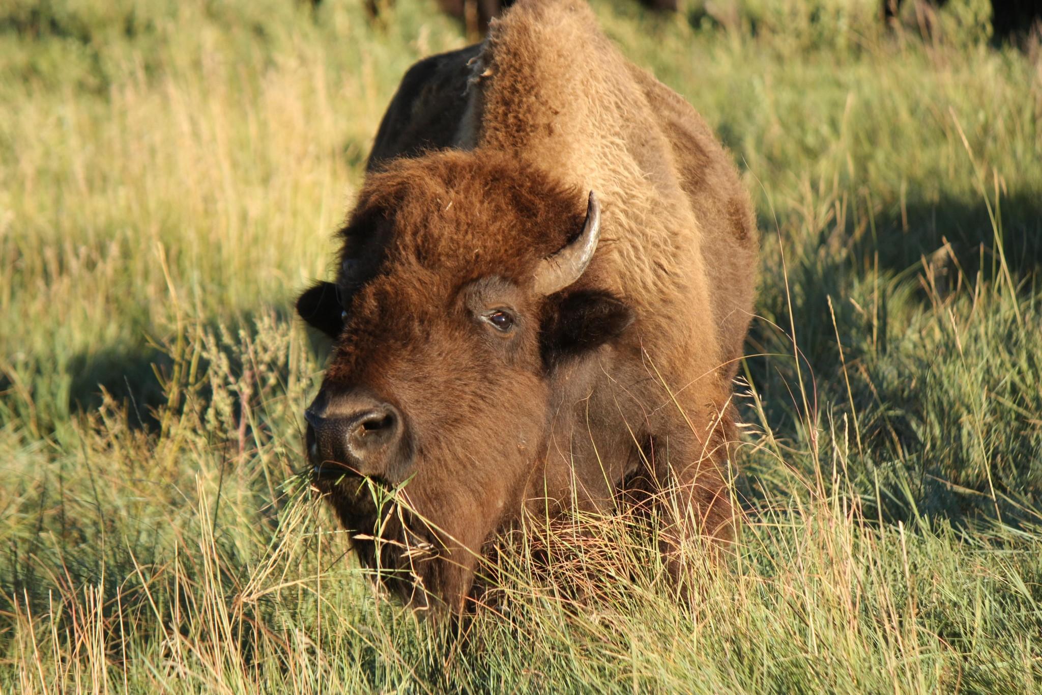 Buffalo as inspiration for Buzon Pedestals - HDG Building Materials